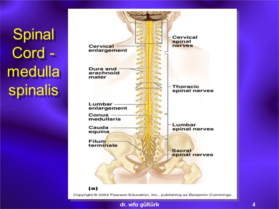 Spinal Cord -medulla spinalis