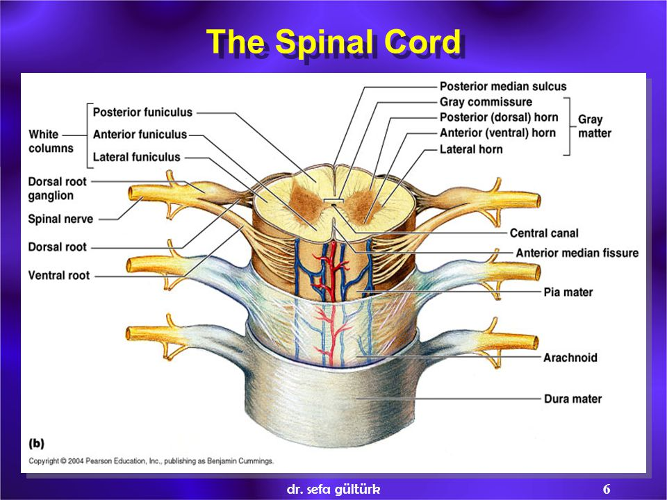 The Spinal Cord dr. sefa gültürk