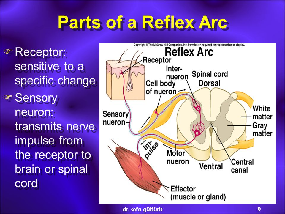 Parts of a Reflex Arc Receptor: sensitive to a specific change