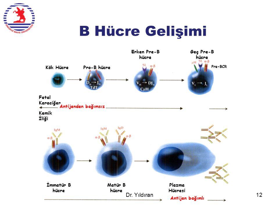 B Hücre Gelişimi Dr. Yıldıran Erken Pre-B hücre Geç Pre-B hücre