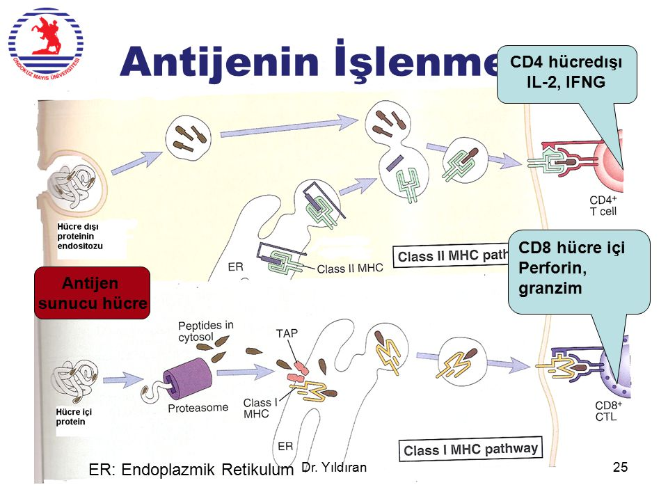 Antijenin İşlenmesi CD4 hücredışı IL-2, IFNG