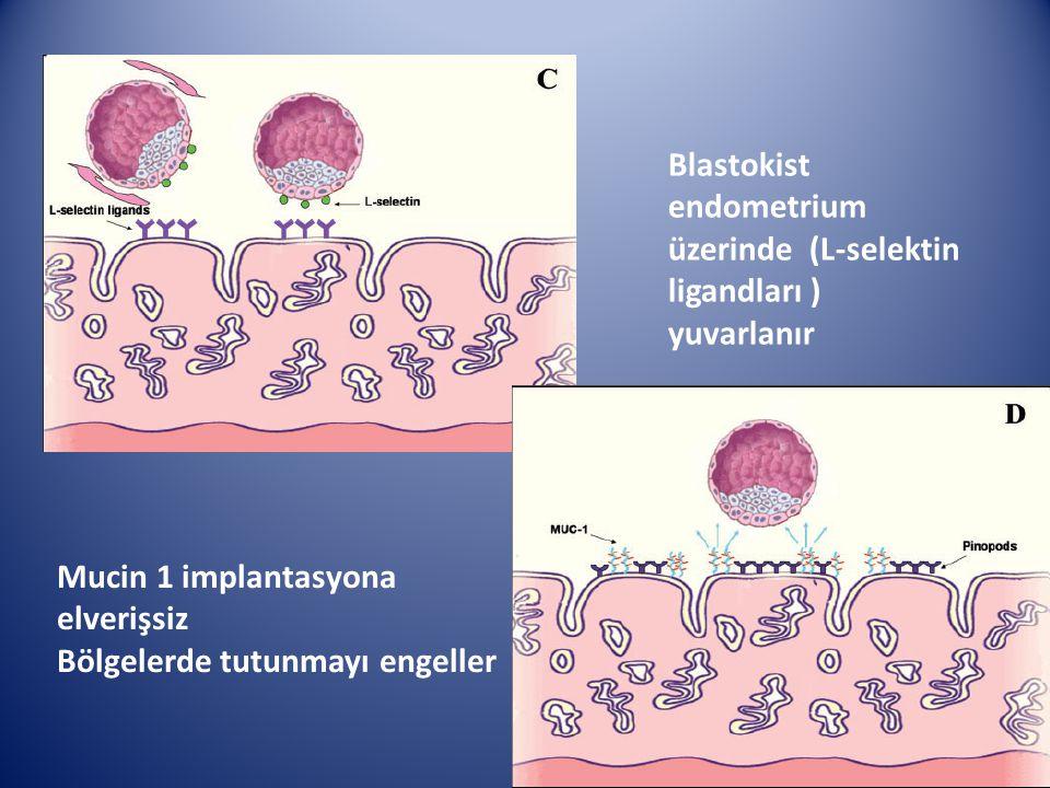 Blastokist endometrium üzerinde (L-selektin ligandları ) yuvarlanır