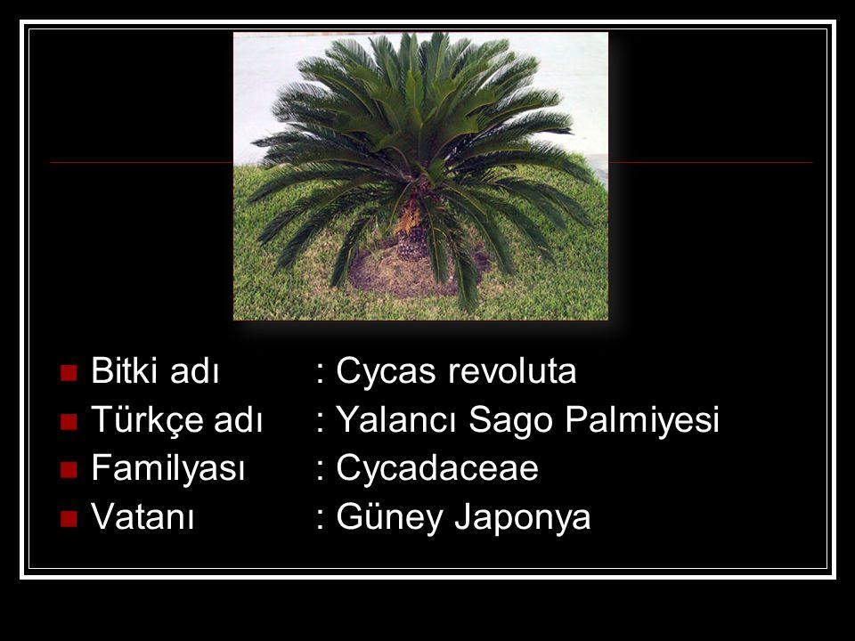 Bitki adı : Cycas revoluta