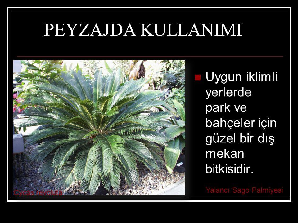 PEYZAJDA KULLANIMI Uygun iklimli yerlerde park ve bahçeler için güzel bir dış mekan bitkisidir. Yalancı Sago Palmiyesi.