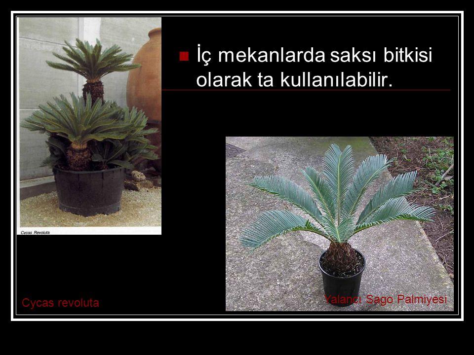 İç mekanlarda saksı bitkisi olarak ta kullanılabilir.