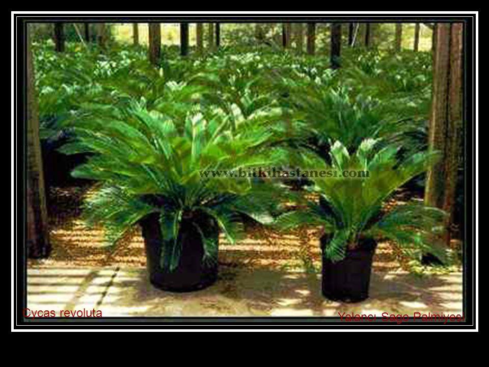 Cycas revoluta Yalancı Sago Palmiyesi