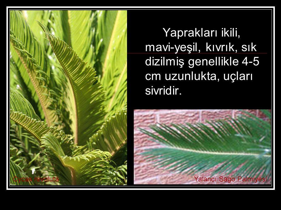 Yaprakları ikili, mavi-yeşil, kıvrık, sık dizilmiş genellikle 4-5 cm uzunlukta, uçları sivridir.