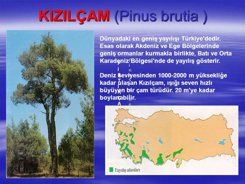 KIZILÇAM (Pinus brutia )
