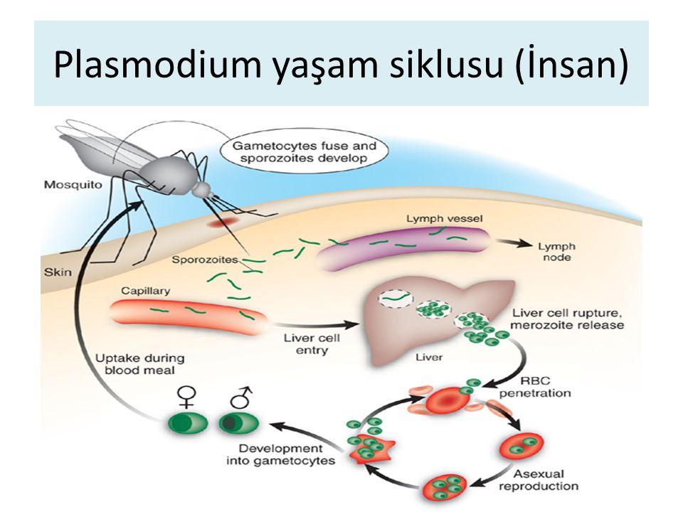 Plasmodium yaşam siklusu (İnsan)