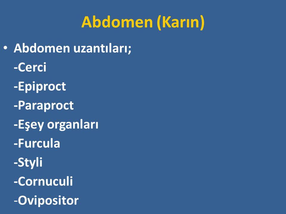 Abdomen (Karın) Abdomen uzantıları; -Cerci -Epiproct -Paraproct