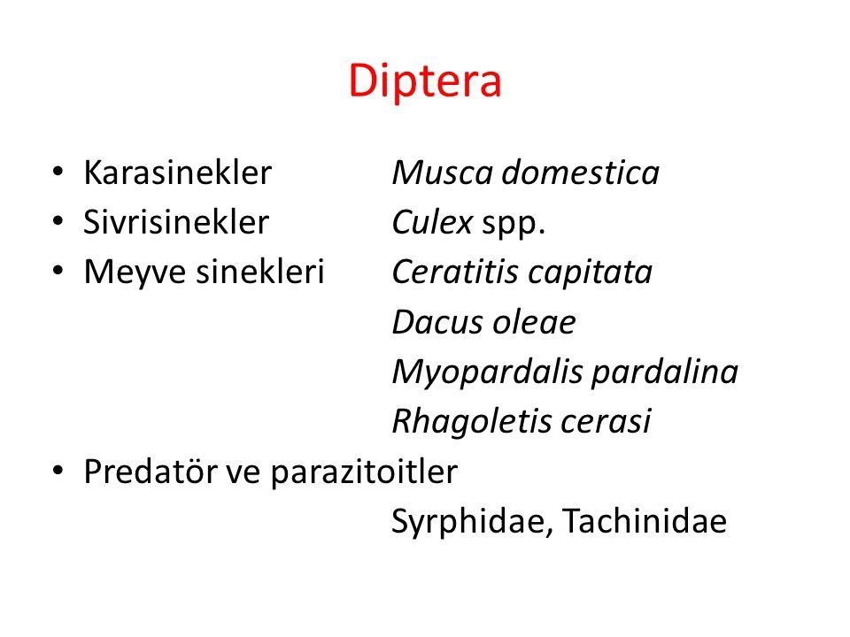 Diptera Karasinekler Musca domestica Sivrisinekler Culex spp.