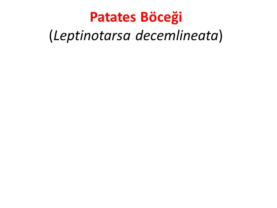 Patates Böceği (Leptinotarsa decemlineata)