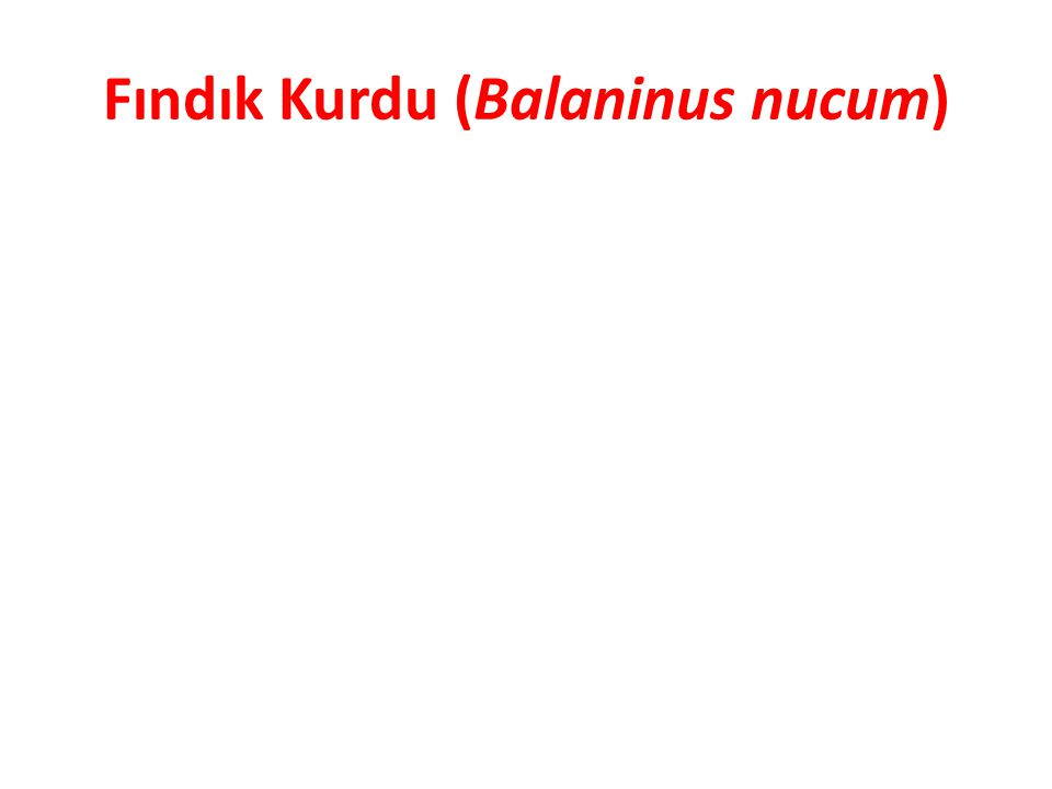 Fındık Kurdu (Balaninus nucum)