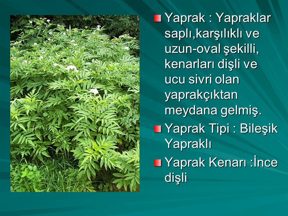 Yaprak : Yapraklar saplı,karşılıklı ve uzun-oval şekilli, kenarları dişli ve ucu sivri olan yaprakçıktan meydana gelmiş.