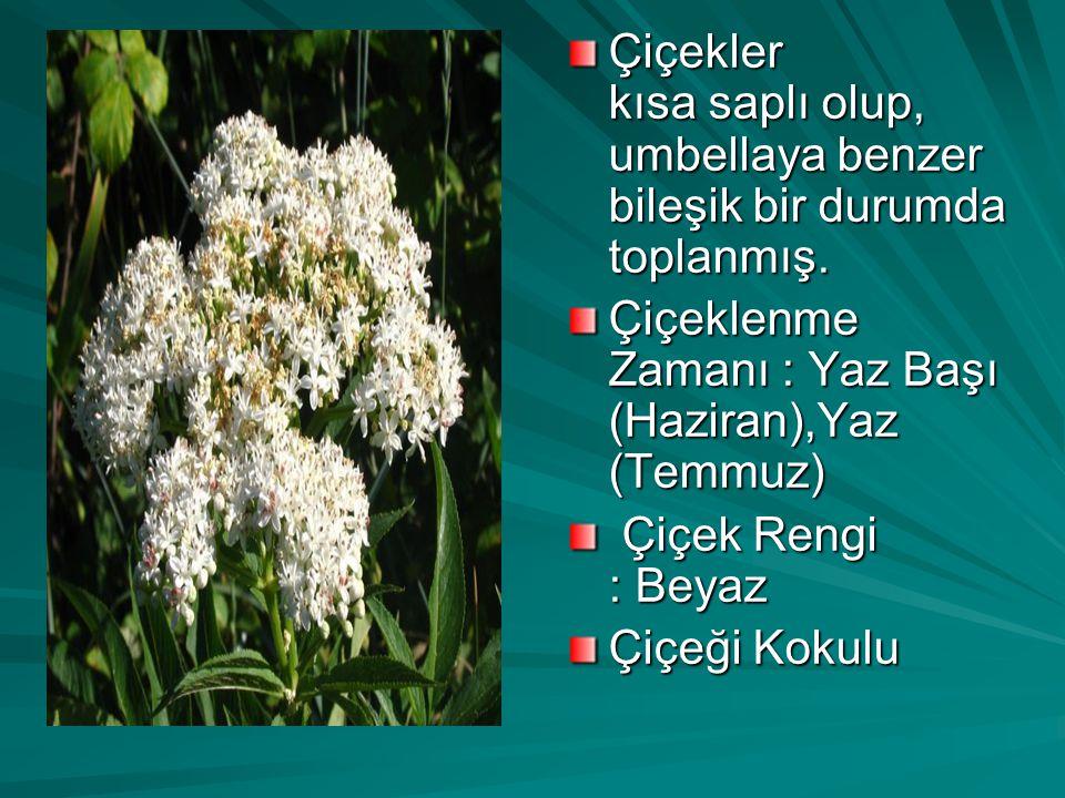 Çiçekler kısa saplı olup, umbellaya benzer bileşik bir durumda toplanmış.