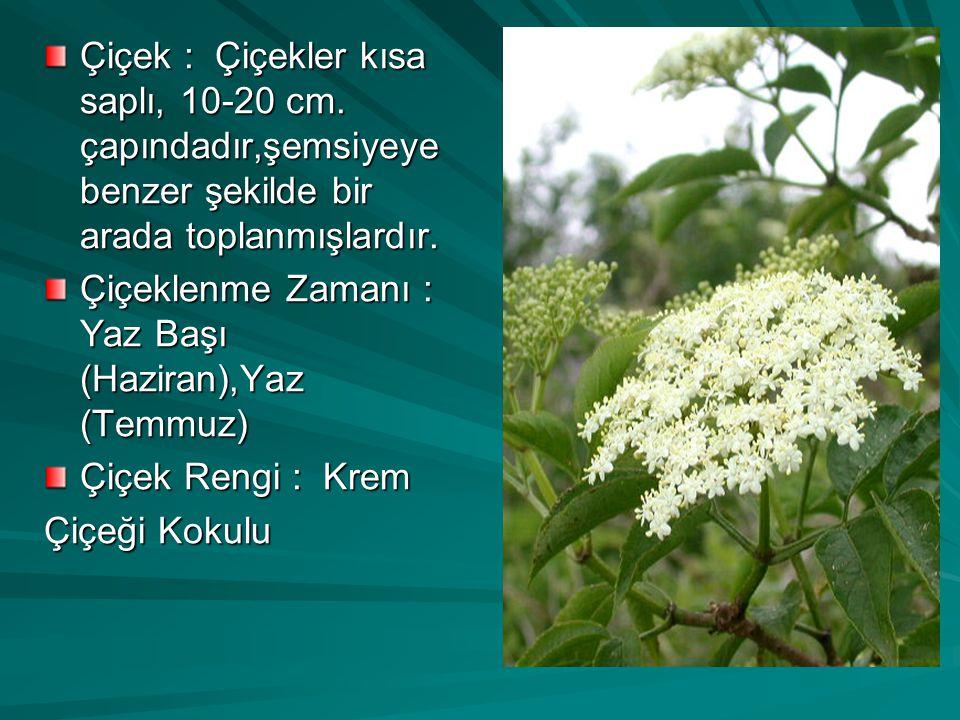 Çiçek : Çiçekler kısa saplı, 10-20 cm