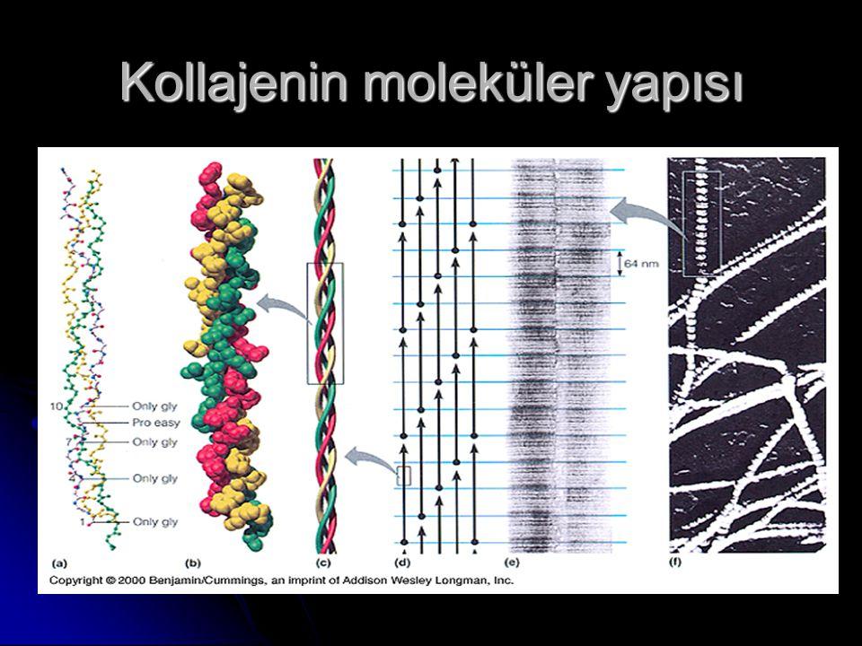 Kollajenin moleküler yapısı
