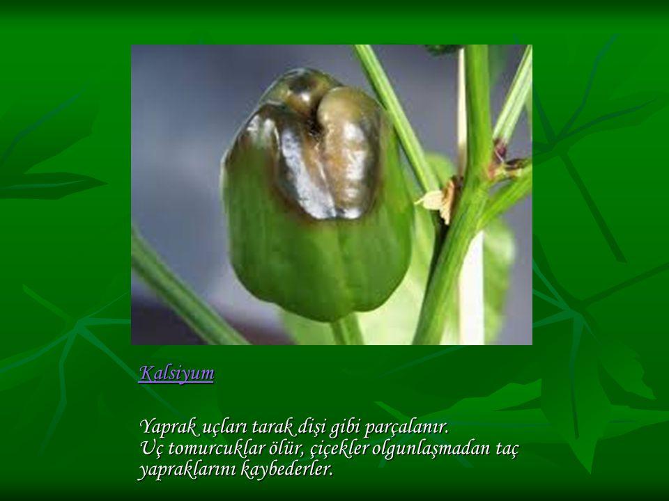 Kalsiyum Yaprak uçları tarak dişi gibi parçalanır.