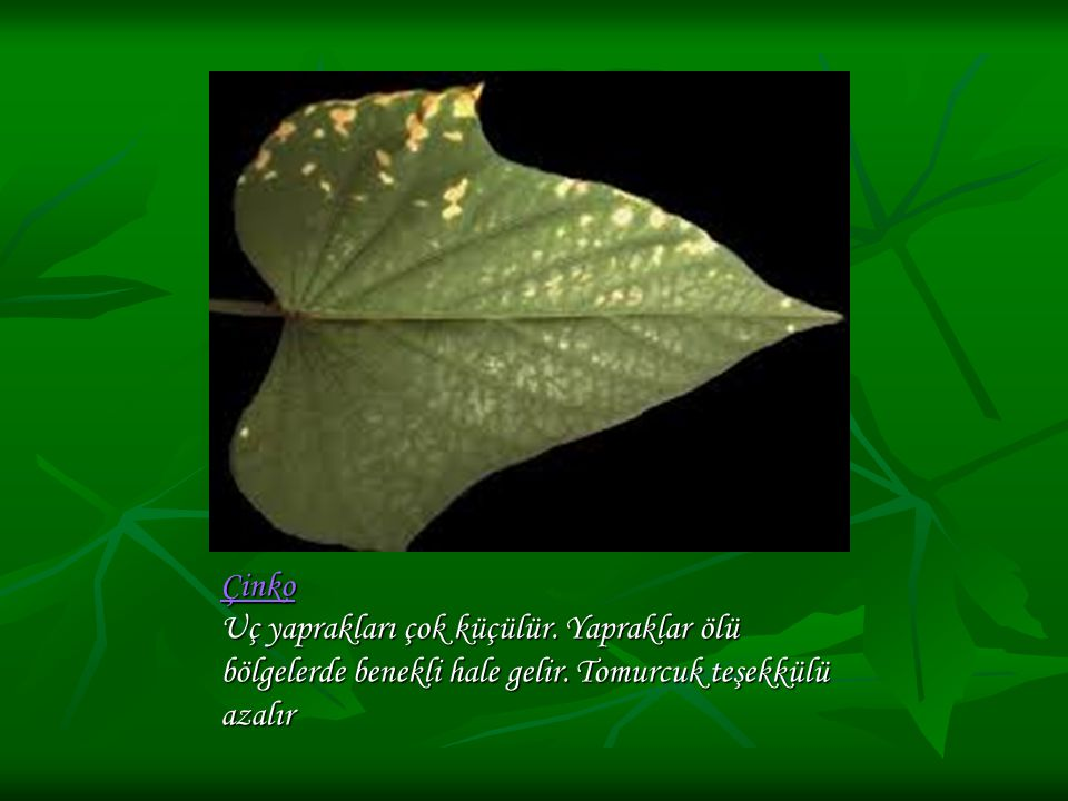 Çinko Uç yaprakları çok küçülür