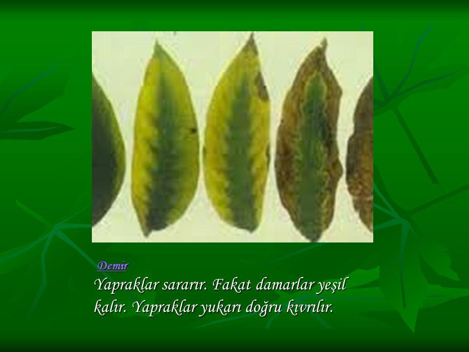Yapraklar sararır. Fakat damarlar yeşil kalır