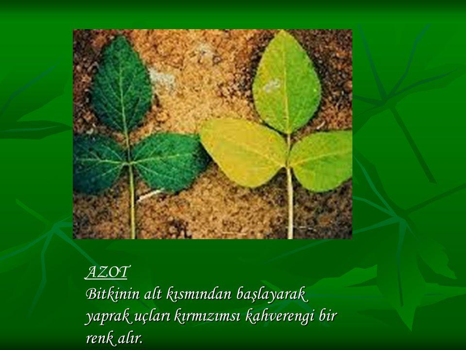 AZOT Bitkinin alt kısmından başlayarak yaprak uçları kırmızımsı kahverengi bir renk alır.