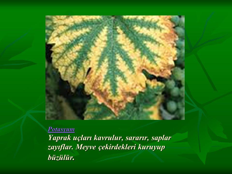 Potasyum Yaprak uçları kavrulur, sararır, saplar zayıflar