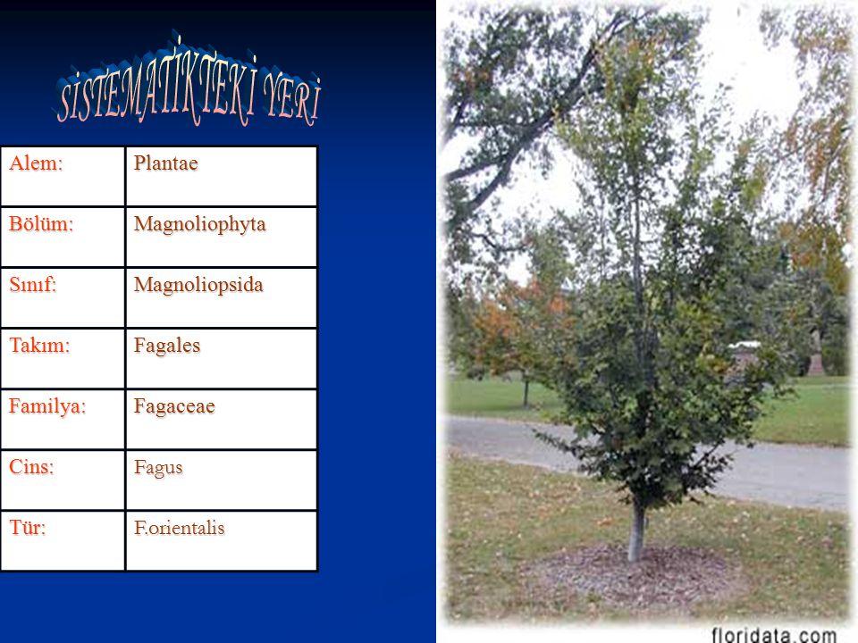 Alem: Plantae Bölüm: Magnoliophyta Sınıf: Magnoliopsida Takım: Fagales