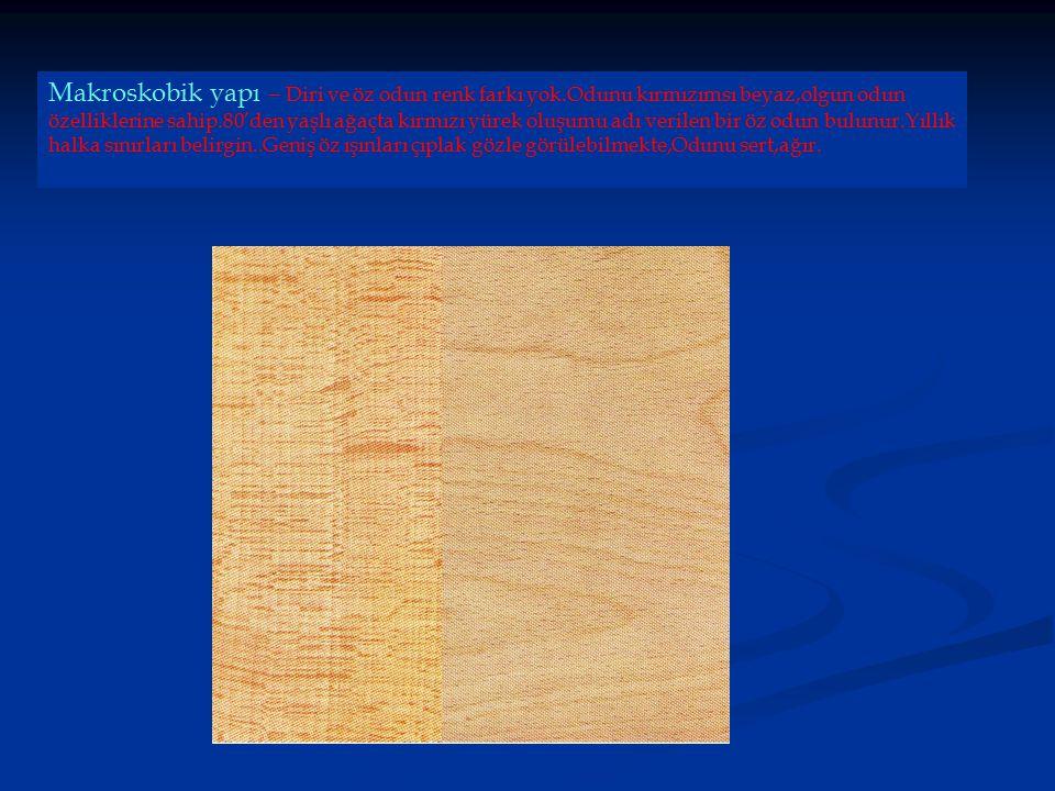 Makroskobik yapı – Diri ve öz odun renk farkı yok