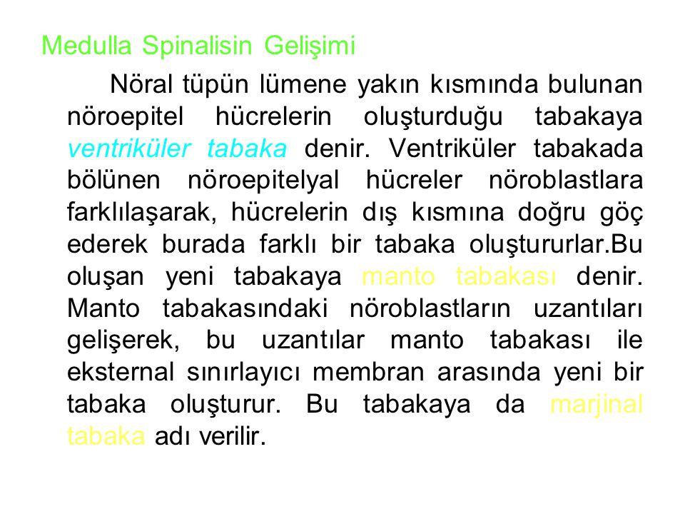Medulla Spinalisin Gelişimi