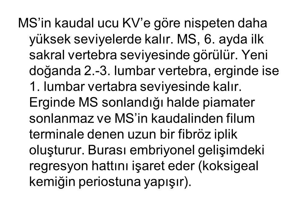 MS'in kaudal ucu KV'e göre nispeten daha yüksek seviyelerde kalır