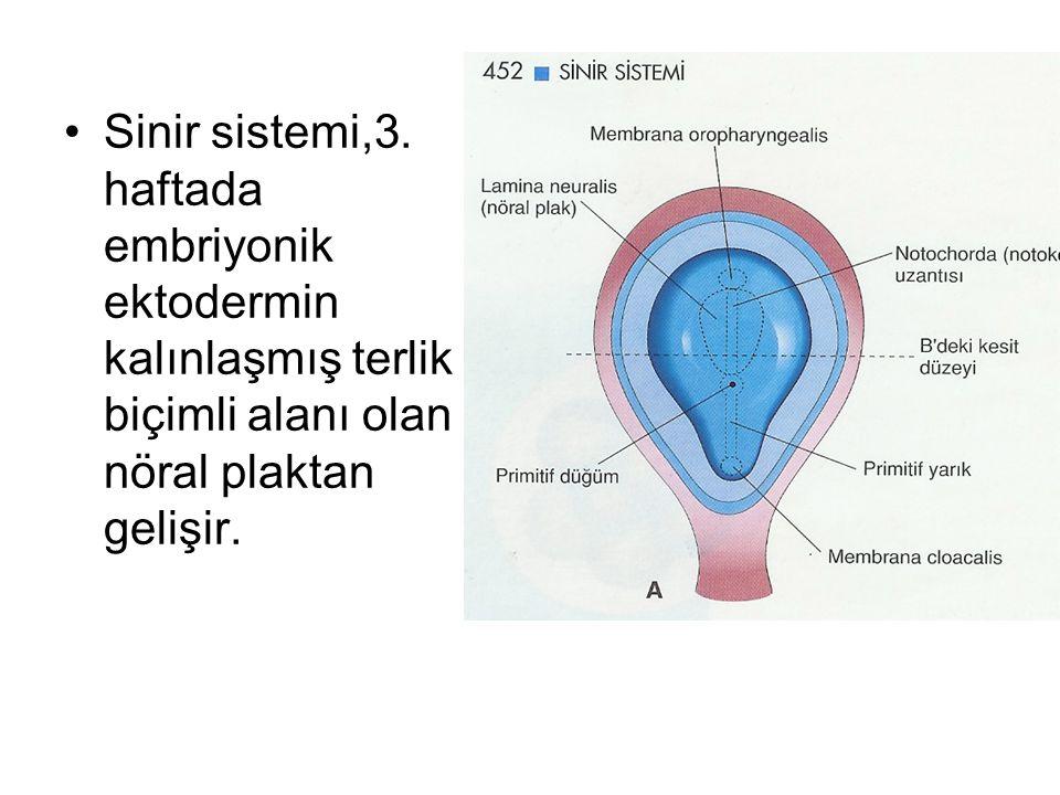 Sinir sistemi,3.