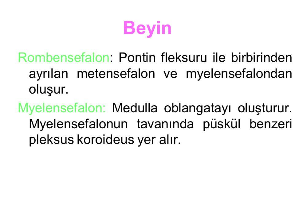 Beyin Rombensefalon: Pontin fleksuru ile birbirinden ayrılan metensefalon ve myelensefalondan oluşur.