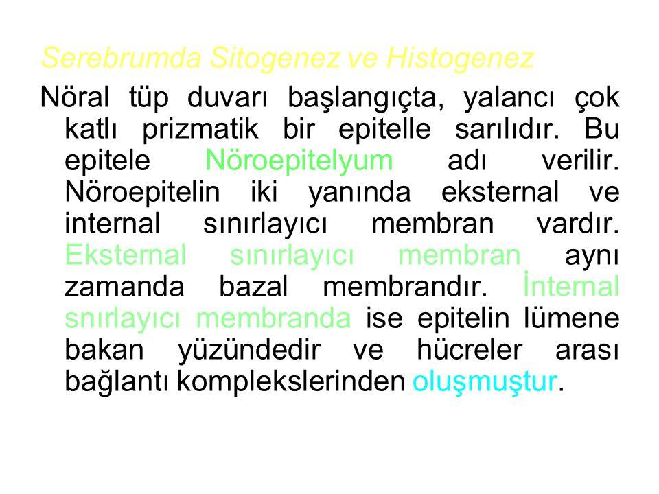 Serebrumda Sitogenez ve Histogenez