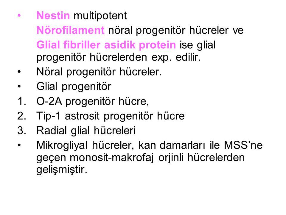 Nestin multipotent Nörofilament nöral progenitör hücreler ve. Glial fibriller asidik protein ise glial progenitör hücrelerden exp. edilir.
