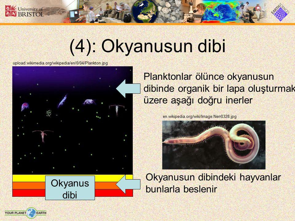 (4): Okyanusun dibi Planktonlar ölünce okyanusun