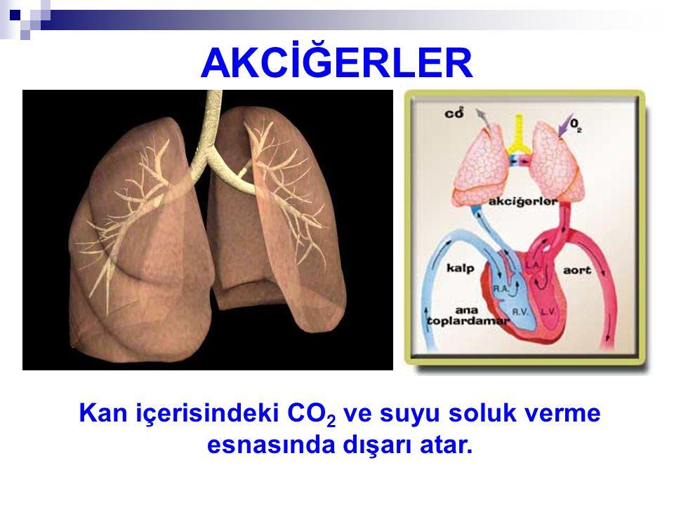 Kan içerisindeki CO2 ve suyu soluk verme esnasında dışarı atar.