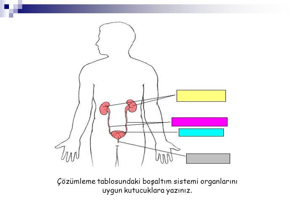 Çözümleme tablosundaki boşaltım sistemi organlarını