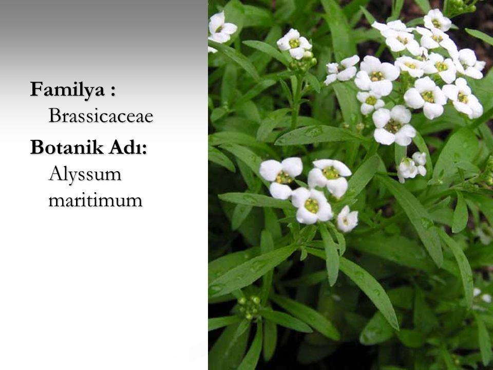 Familya : Brassicaceae Botanik Adı: Alyssum maritimum