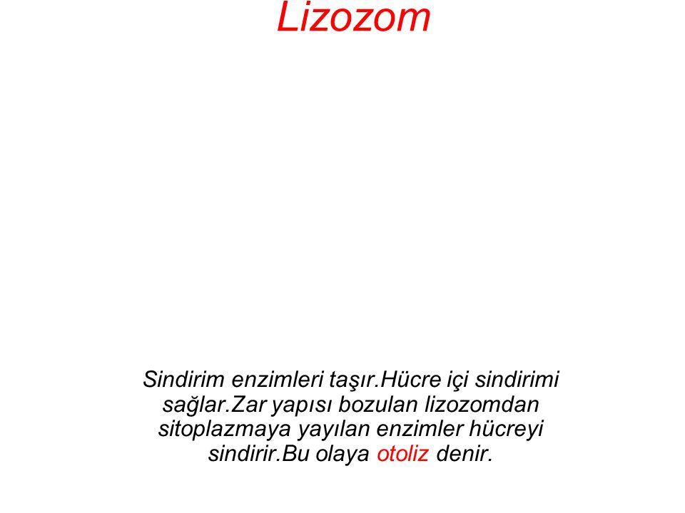 Lizozom