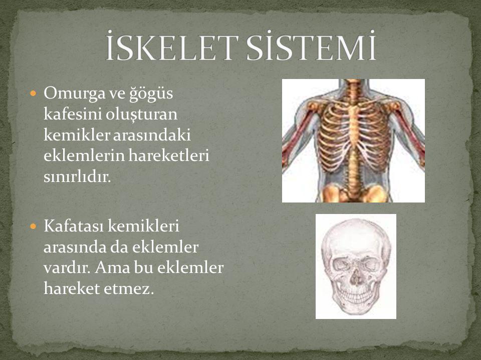 İSKELET SİSTEMİ Omurga ve ğögüs kafesini oluşturan kemikler arasındaki eklemlerin hareketleri sınırlıdır.