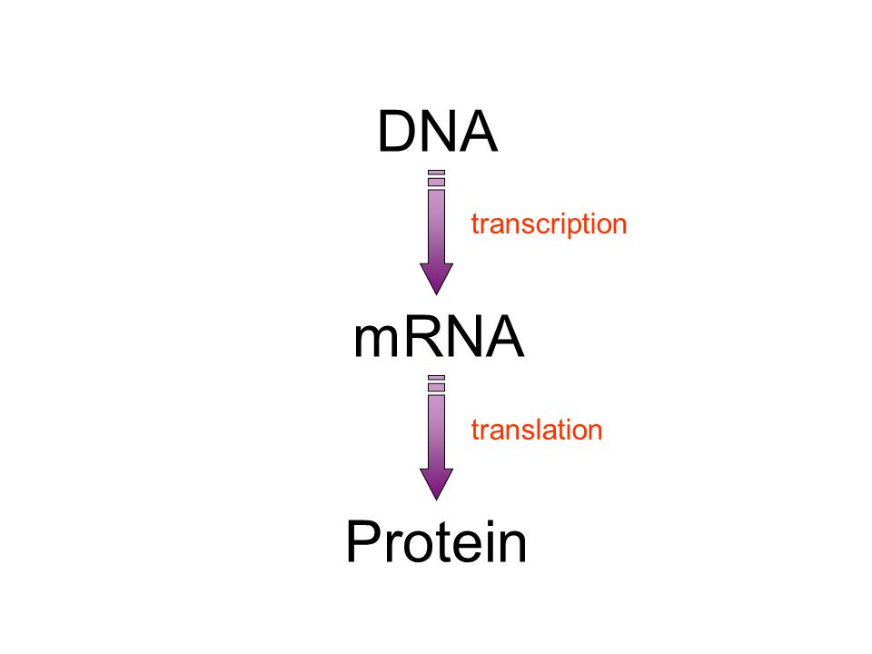 the Central Dogma DNA transcription translation mRNA Protein 10