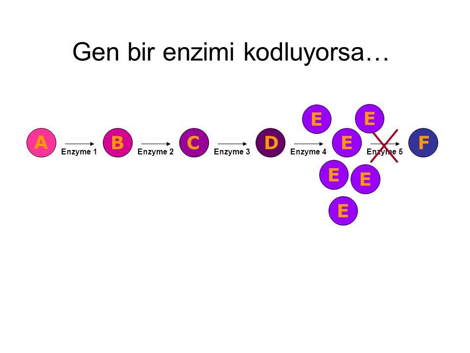 Gen bir enzimi kodluyorsa…
