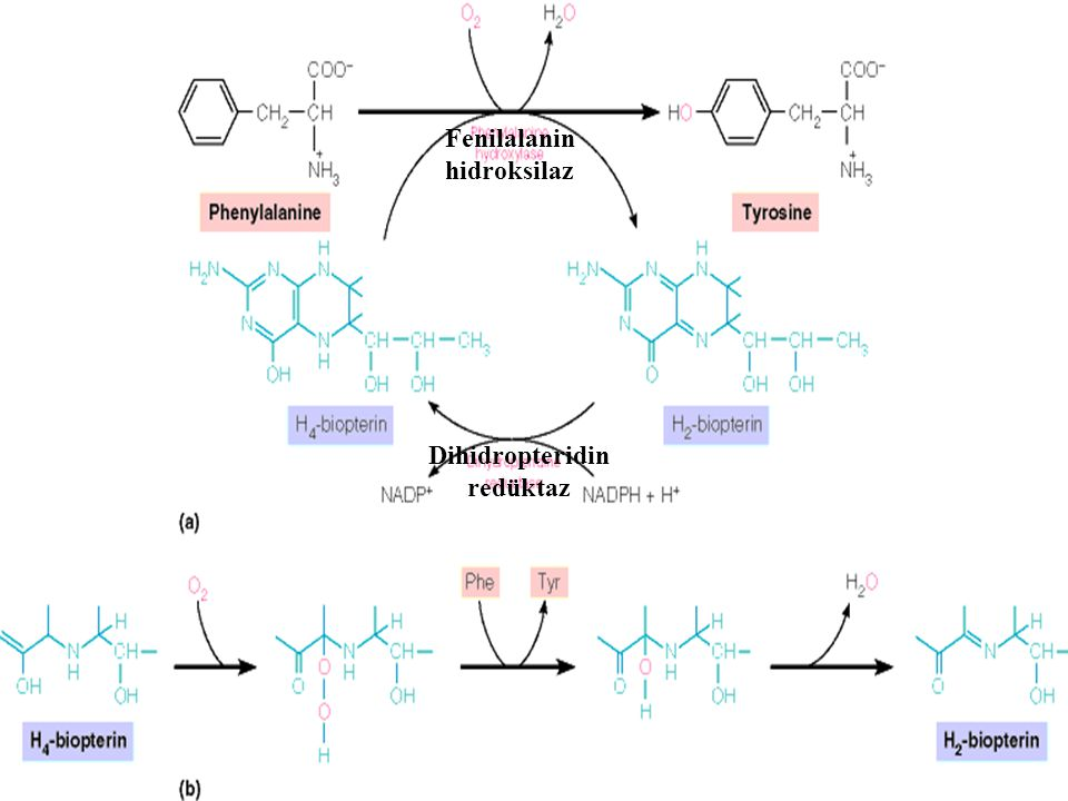Fenilalanin hidroksilaz