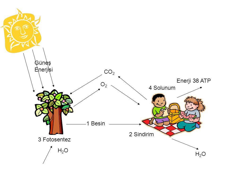 Güneş Enerjisi 3 Fotosentez 1 Besin O2 CO2 4 Solunum Enerji 38 ATP H2O 2 Sindirim