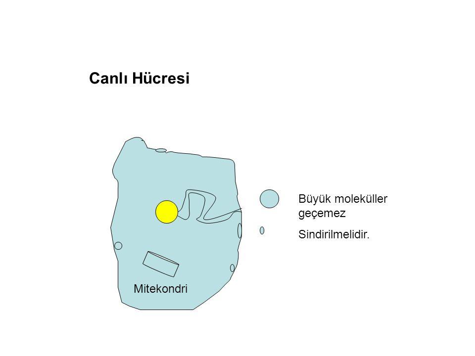 Canlı Hücresi Büyük moleküller geçemez Sindirilmelidir. Mitekondri
