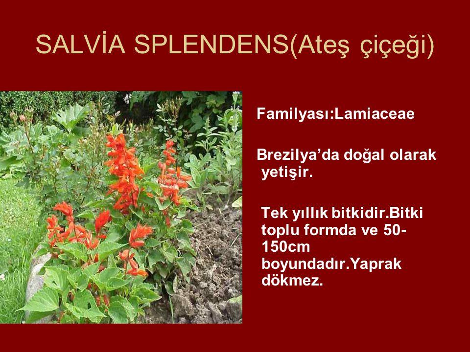 SALVİA SPLENDENS(Ateş çiçeği)