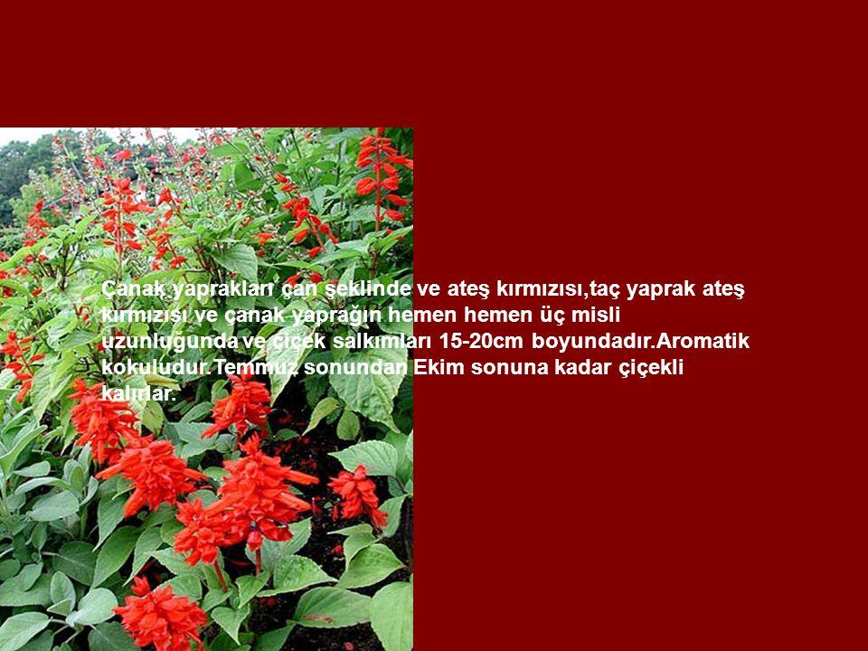 Çanak yaprakları çan şeklinde ve ateş kırmızısı,taç yaprak ateş kırmızısı ve çanak yaprağın hemen hemen üç misli uzunluğunda ve çiçek salkımları 15-20cm boyundadır.Aromatik kokuludur.Temmuz sonundan Ekim sonuna kadar çiçekli kalırlar.