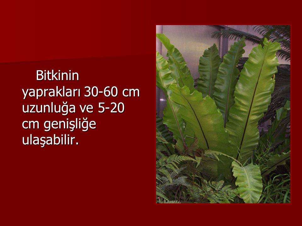 Bitkinin yaprakları 30-60 cm uzunluğa ve 5-20 cm genişliğe ulaşabilir.