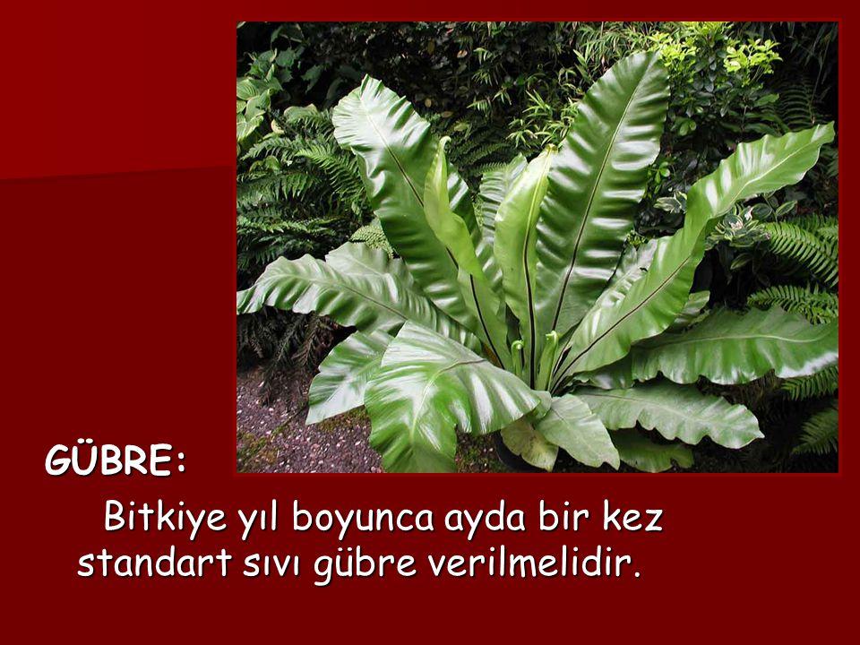 GÜBRE: Bitkiye yıl boyunca ayda bir kez standart sıvı gübre verilmelidir.