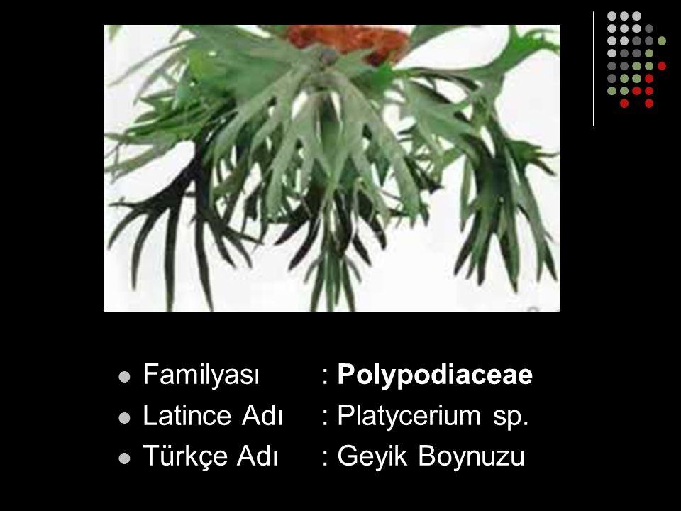 Familyası : Polypodiaceae